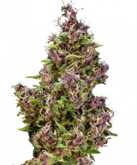 1Purple Paro Valley Feminized