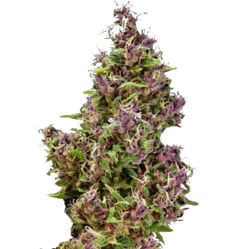 Purple Paro Valley Feminized