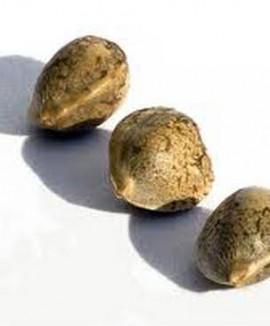 Как и где хранить семена конопли