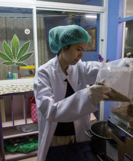 Бангкок: Открылась первая конопляная клиника