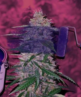 Фиолетовые сорта марихуаны: что о них известно?