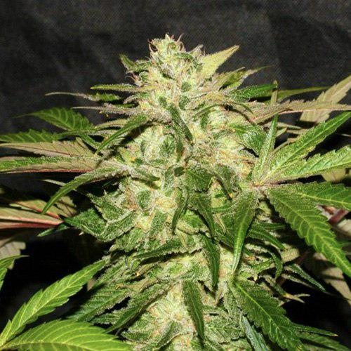 Скрестить коноплю с тест на марихуану одна полоска яркая вторая бледная