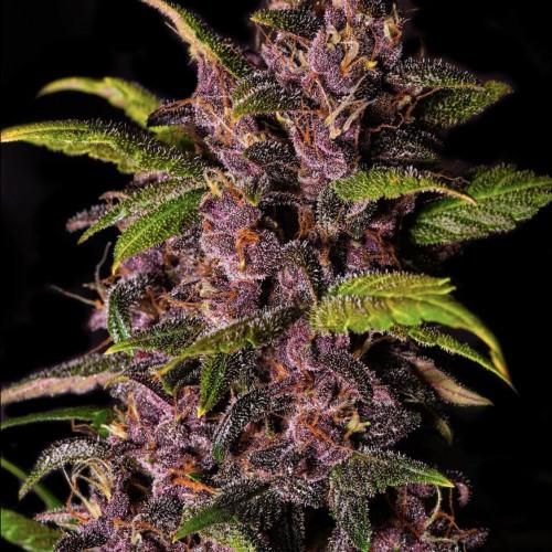 Auto Purple Opium