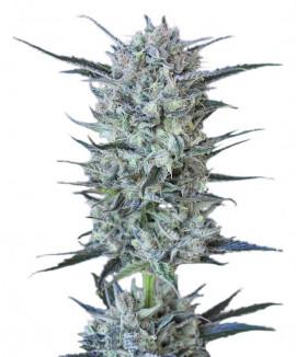 Купить марихуаны киев какой свет лучше для марихуаны