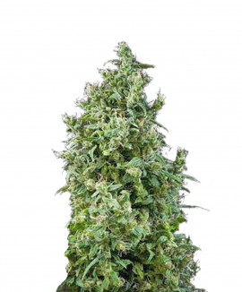 1White Bhutanese Feminized