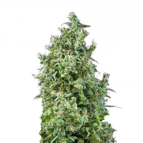 White Bhutanese Feminized