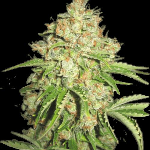 Купить марихуану интернет магазин фотошоп марихуана