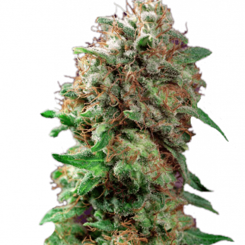 Конопли афгана skyrim мод марихуана