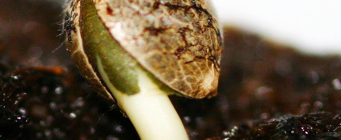 Семена конопли прорастают чебурашка и конопля анекдоты