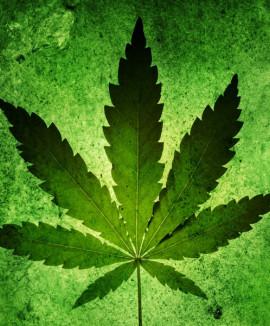 Чем отличаются конопля и марихуана?