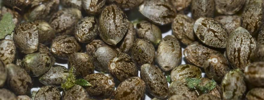 Купить автоцветущие семена