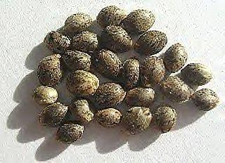 Семена конопли поштучно из Испании, и Чехии